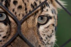 Amur-Leopard, der durch einen Zaun schaut Stockfoto