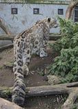 Amur-Leopard in der Gefangenschaft stockbild