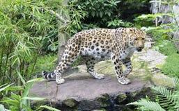 Amur Leopard. Leopard exploring its habitat in a landscape photograph Royalty Free Stock Images