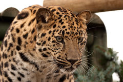 Amur Leopard gazing intently. Front view of an Amur Leopard gazing intently Stock Photography