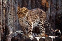 Amur leopard i en zoo Arkivfoton