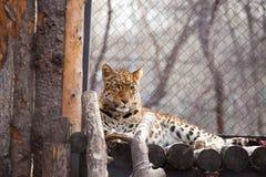 Amur leopard i en zoo Royaltyfri Bild