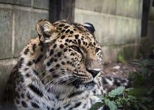 Amur leopard i fångenskap royaltyfri fotografi