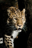 Amur leopard i skuggorna Arkivbild
