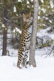 Amur leopard i snön Arkivfoton