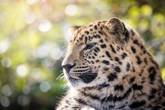 Amur leopard i solljus Arkivbild