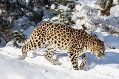 Amur-Leopard im Schnee Stockfotos