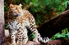 Amur Leopard Inquiry. Summer vista of an alert adult Amur leopard standing on a rock, at the Minnesota Zoological Garden Royalty Free Stock Image