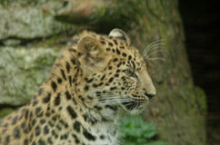 Amur leopard Royalty Free Stock Image