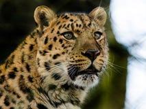 Amur Leopard. An amur leopard keeps lookout Stock Photos