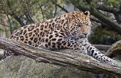 Amur leopard 1 Royalty Free Stock Images