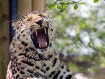 Amur Leopard. An Amur Leopard lets out a roar Royalty Free Stock Photography