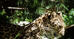 Amur Leopard In The Light Royalty Free Stock Images