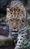 Amur Leopard. This Amur Leopard looks directly into the camera Royalty Free Stock Images