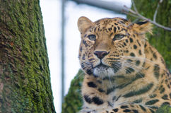 Amur Leopard looks out. An Amur Leopard looks out on its territory Stock Photography