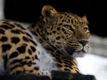 Amur Leopard. An Amur Leopard looks out over its home Royalty Free Stock Photography