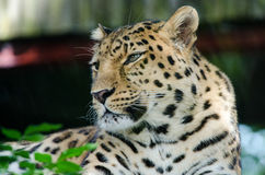 An Amur Leopard. Lounges in a tree Stock Image