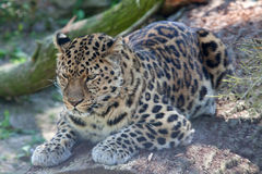 Amur Leopard lying an a branch Royalty Free Stock Image