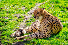 Amur Leopard on Meadow Royalty Free Stock Image