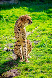 Amur Leopard on Meadow Stock Images