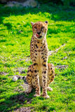 Amur Leopard on Meadow Stock Image