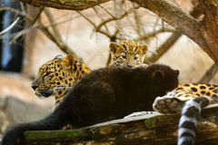 Amur leopard mother with her cubs Royalty Free Stock Image