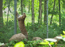 Amur leopard in open-air cage Stock Photography