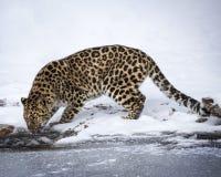 Amur leopard på leklantgården för trippel D Royaltyfri Bild