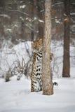 Amur leopard på leklantgården för trippel D i Kalispell Montana Arkivbilder