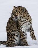 Amur leopard på leklantgården för trippel D i Kalispell Montana Arkivbild