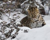 Amur leopard på leklantgården för trippel D i Kalispell Montana Fotografering för Bildbyråer