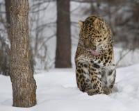 Amur leopard på leklantgården för trippel D i Kalispell Montana Royaltyfria Foton