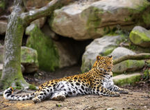 Amur Leopard, Panthera pardus orientalis Stock Photography