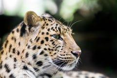 Amur leopard Stock Photo