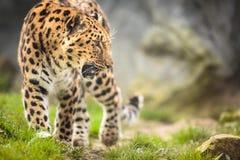 Amur Leopard. (Panthera pardus orientalis Stock Photos