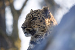 Amur Leopard, Panthera pardus orientalis, is probably the most beautifully colored leopard Stock Photo