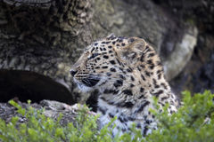 Amur Leopard, Panthera pardus orientalis, is probably the most beautifully colored leopard Royalty Free Stock Photography