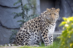 Amur Leopard, Panthera pardus orientalis, is probably the most beautifully colored leopard Royalty Free Stock Images