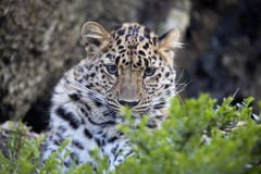 Amur Leopard, Panthera pardus orientalis, is probably the most beautifully colored leopard Stock Image