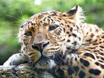 Amur leopard (Panthera pardus orientalis) Stock Images