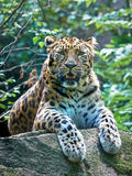 Amur leopard (Panthera pardus orientalis) Royalty Free Stock Photography