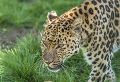 Amur leopard (Pantherapardusorientalis) Arkivfoton