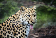 Amur Leopard panting, with tongue sticking out Stock Photo