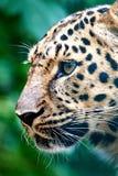 amur leopard pardus panthera orientalis Στοκ εικόνα με δικαίωμα ελεύθερης χρήσης