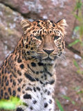 amur leopard pardus panthera orientalis Στοκ φωτογραφία με δικαίωμα ελεύθερης χρήσης