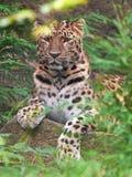 amur leopard pardus panthera orientalis Στοκ Εικόνα