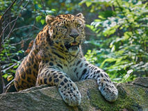 amur leopard pardus panthera orientalis Στοκ Εικόνες