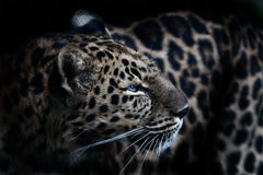 Amur Leopard. An Amur Leopard pauses slightly to take in some afternoon light Stock Photo