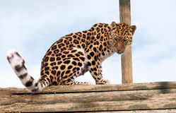 Amur Leopard on a pile of logs Royalty Free Stock Photos