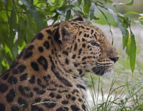 Amur Leopard 10 Stock Photo